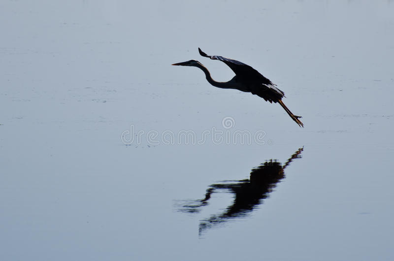 Download Silhouette Of Great Blue Heron Landing Stock Image - Image: 24975861