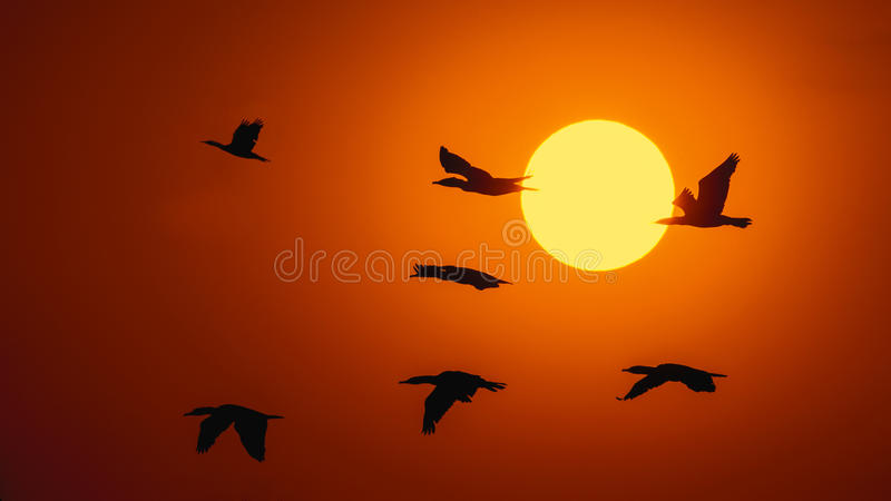 Silhouette Of Great Cormorant with Rising Sun. At Hong Kong royalty free stock image