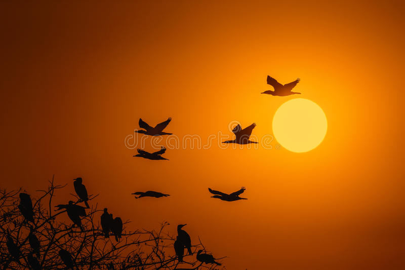 Silhouette Of Great Cormorant with Rising Sun. At Hong Kong royalty free stock photography