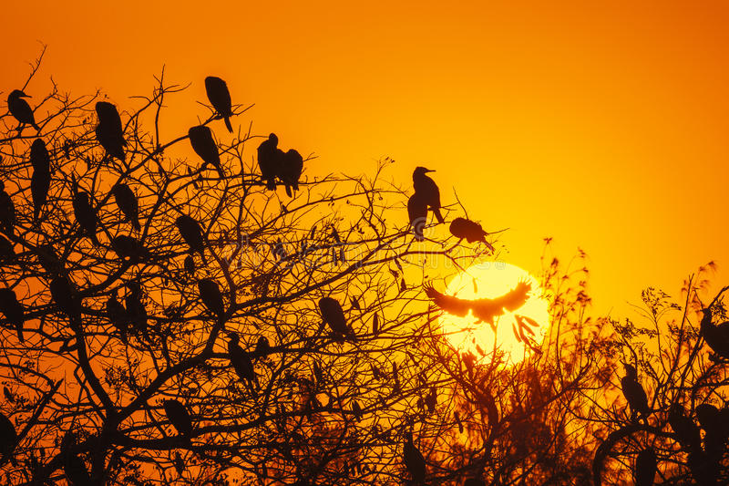 Silhouette Of Great Cormorant with Rising Sun stock photography