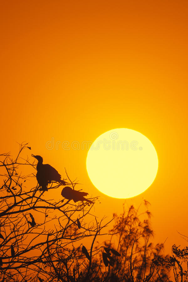 Silhouette Of Great Cormorant with Rising Sun. Hong Kong stock image
