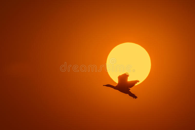 Silhouette Of Great Cormorant with Rising Sun. Hong Kong royalty free stock photo