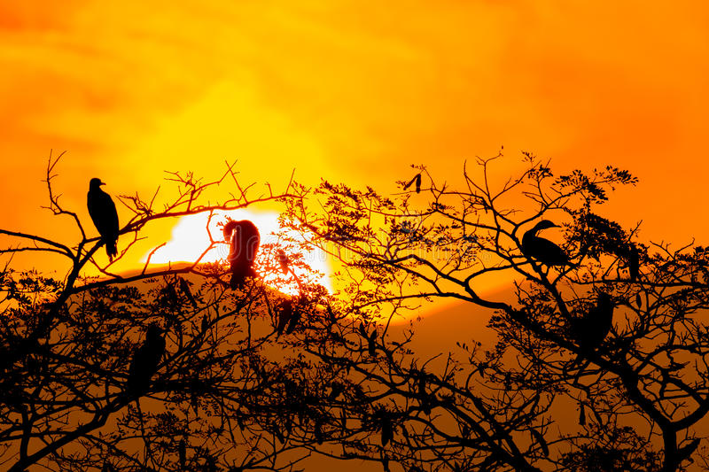 Silhouette Of Great Cormorant and Tree with Sunrise stock photos