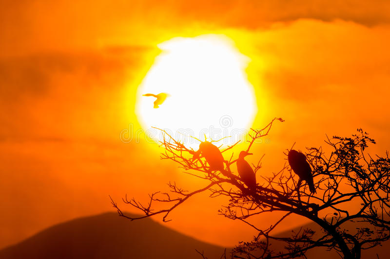 Silhouette Of Great Cormorant and Tree with Sunrise royalty free stock photos