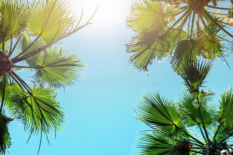 Silhouette of green tropical palm tree leaves with clear blue sky on backgroung at sunset or sunrise time.Summer travel and royalty free stock images
