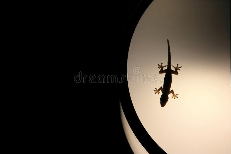 Silhouette house gecko on light lamp royalty free stock photography