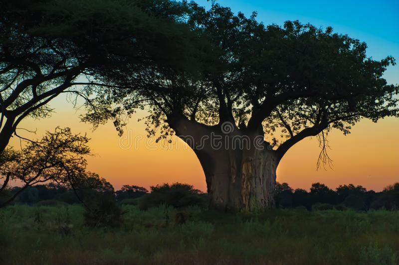 Silhouette of huge Baobab Tree with beautiful colored sky at sunrise in Botswana royalty free stock image
