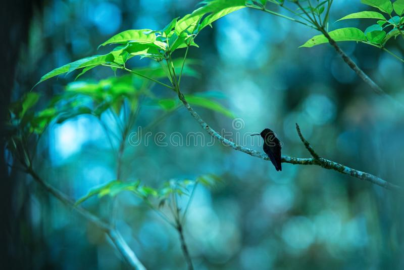 Silhouette of hummingbird Copper-rumped Hummingbird sitting on branch, bird from caribean tropical forest. Trinidad and Tobago, beautiful tiny hummingbird stock image