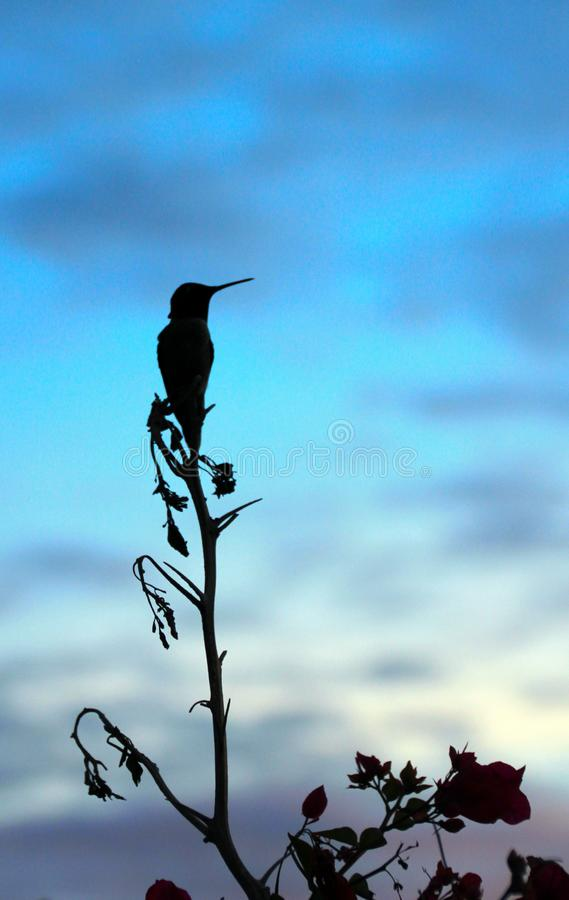 Silhouette of a hummingbird at sunrise. Perched at the top of a small tree on the shores of the Sea of Cortez, El Golfo, Sonora, Mexico this little hummingbird royalty free stock image