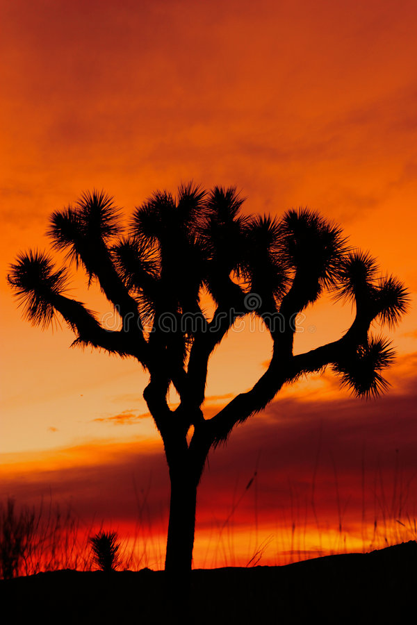 Silhouette of Joshua tree at sunset stock photography