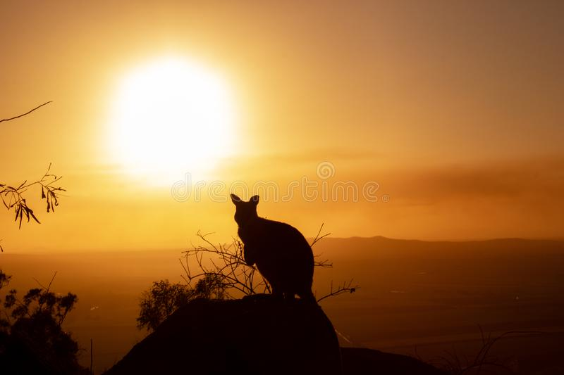 silhouette of a Kangaroo on a rock with a beautiful sunset in the background. The animal is looking towards camera. Queensland, royalty free stock photo