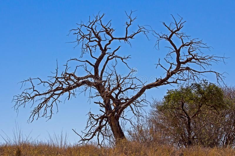 Silhouette of large dead tree stock image