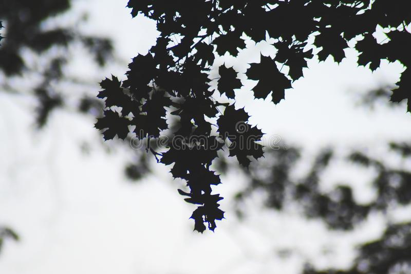 Silhouette leafs stock photography