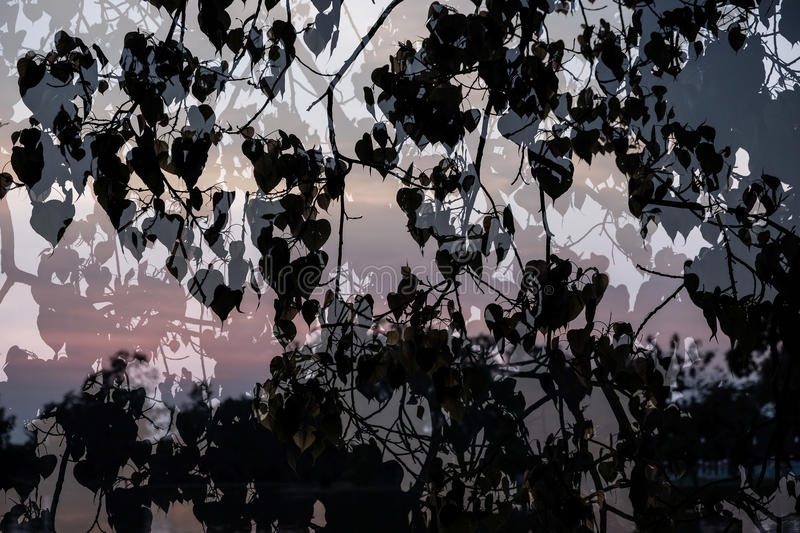 Silhouette of Leaves of Bo Treesacred fig,Ficus religiosa superimposed on river background. royalty free stock photo