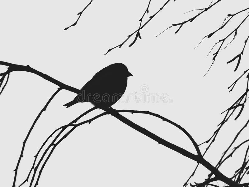 Silhouette of a little bird on the branch of a birch. royalty free stock photos