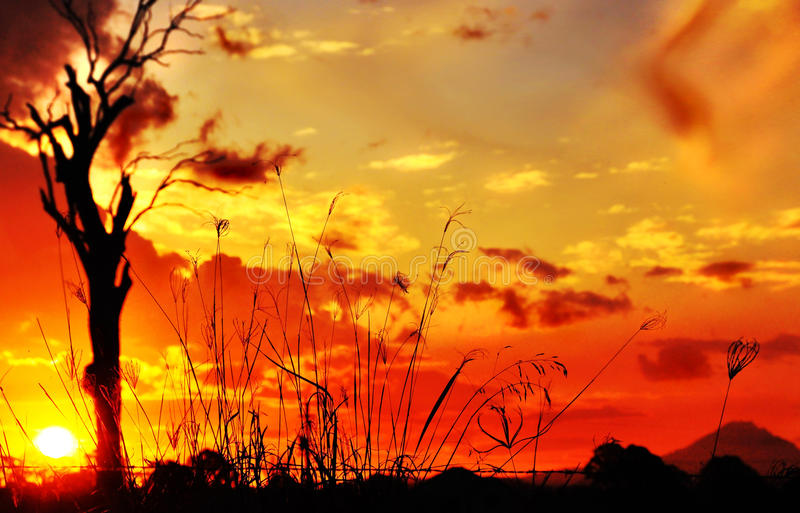 Silhouette long tall grass & gum tree sunset royalty free stock photos