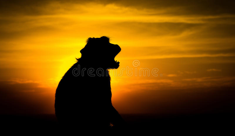 Silhouette of a monkey. In the sunset royalty free stock photo