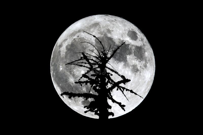 Silhouette morte d'arbre de pleine lune photo stock
