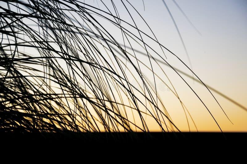 Silhouette noire d'herbe des pampas au coucher du soleil image stock