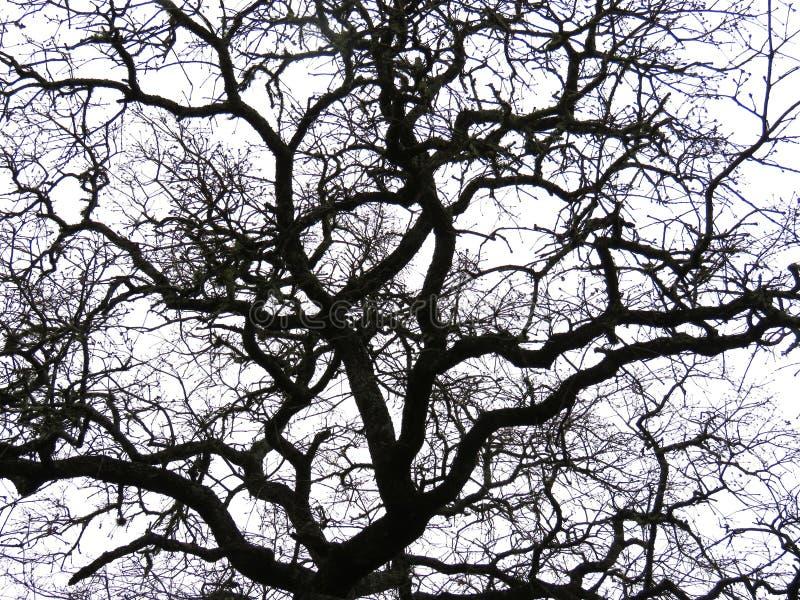 Silhouette nue de branches d'arbre photos libres de droits
