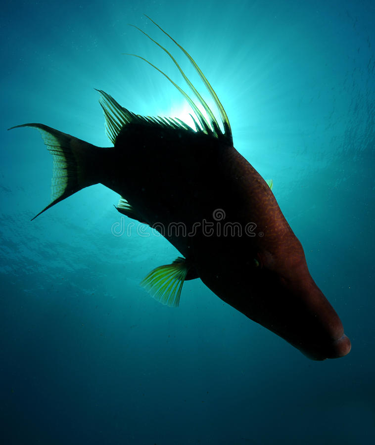 Free Silhouette Of Hogfish Swimming In Ocean Stock Photo - 29014000