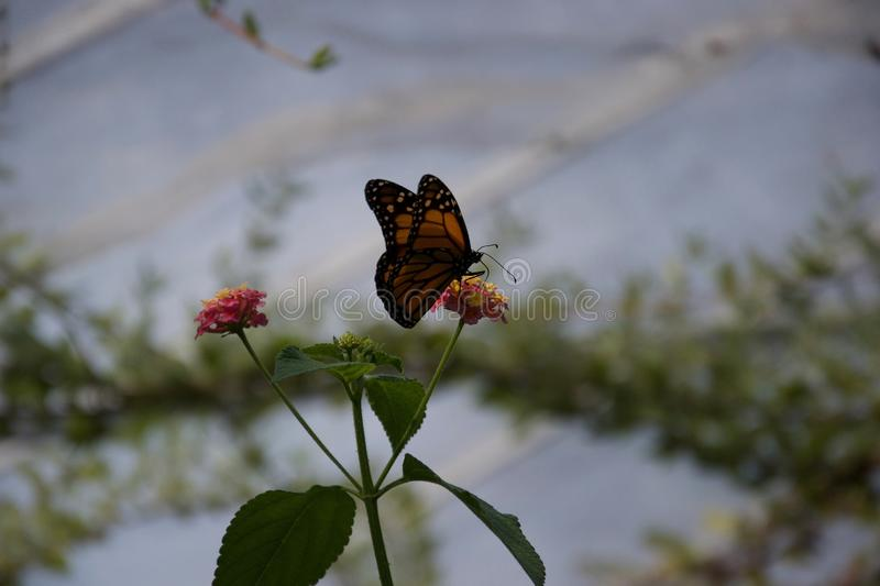 Silhouette of a butterfly sitting on a small flower. A silhouette of an orange and black butterfly sipping from a small flower that it`s sitting on stock photos