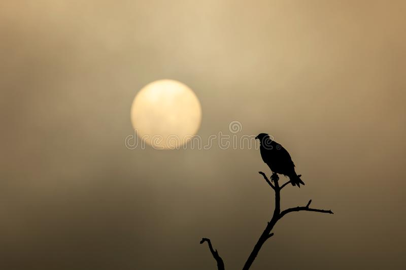 Silhouette of an osprey against golden misty sunset. Silhouette of an osprey Pandion haliaetus against yellow gold misty clouds at near sunset royalty free stock photos