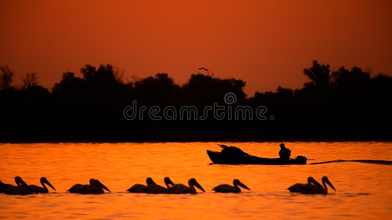 Silhouette of pelican an fisherman in the sunset. Danube Delta Romanian wild life bird watching. Silhouette of swans  flying over water in the sunset. Danube royalty free stock photos