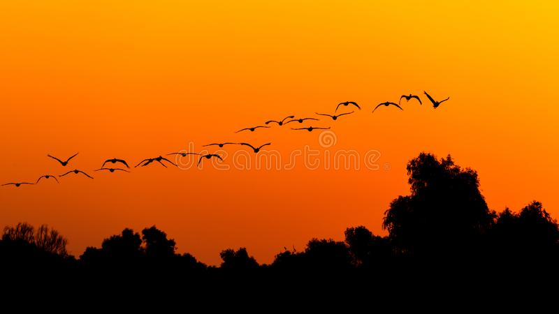 Silhouette of pelican flying over forest in the sunset. Danube Delta Romanian wild life bird watching. Silhouette of swans  flying over water in the sunset royalty free stock images