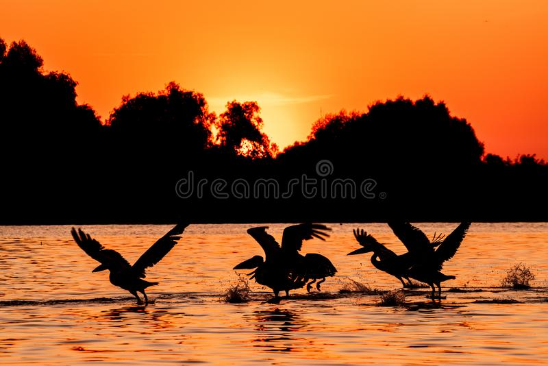 Silhouette of pelicans flying over water in the sunset. Danube Delta Romanian wild life bird watching royalty free stock image