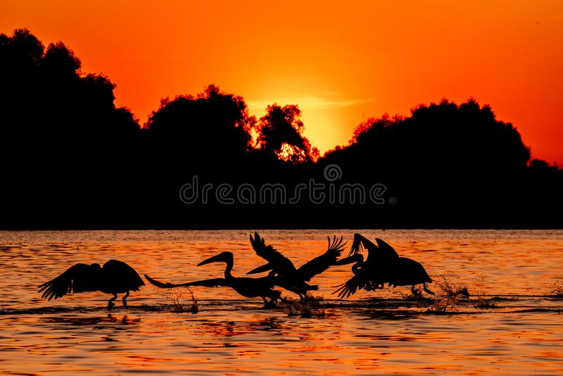 Silhouette of pelicans flying in the sunset. Danube Delta Romanian wild life bird watching. Silhouette of swans  flying over water in the sunset. Danube Delta stock photo