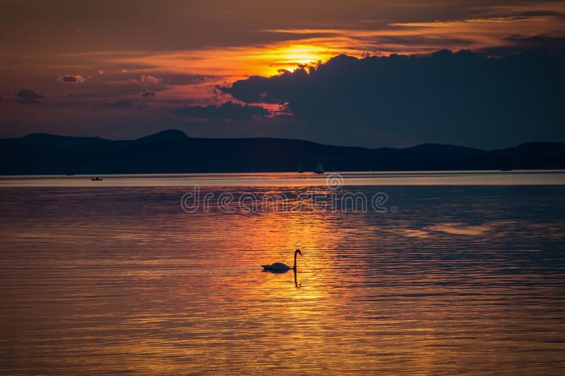 Silhouette Photo of Swan in the Body of Water during Golden Hour royalty free stock image