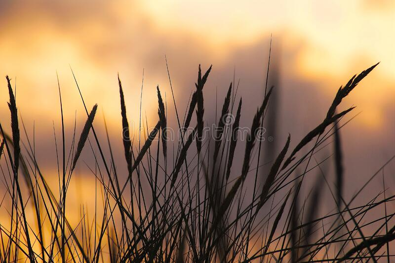 Silhouette Photo of Wheat during Sunset royalty free stock image