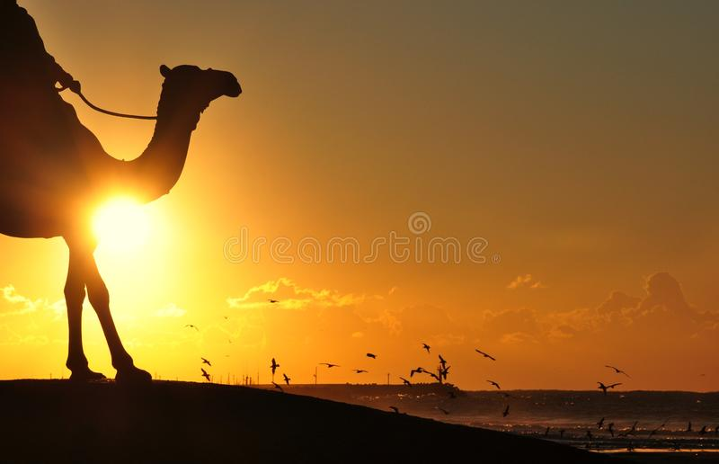 Silhouette Photography Of Man Riding Camel Overseeing Orange Sunset And Flock Of Birds royalty free stock image