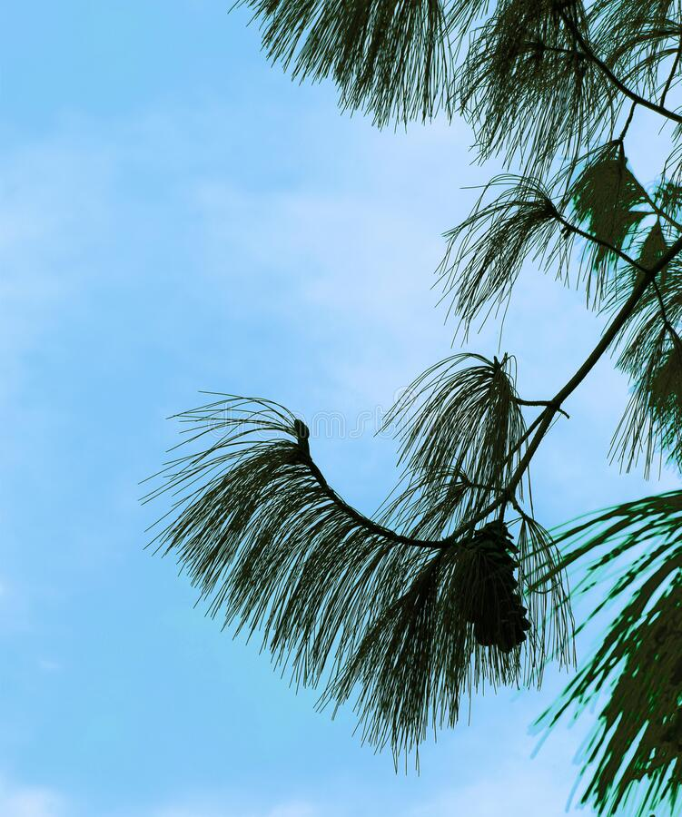 Silhouette of pine cone and needles royalty free stock image