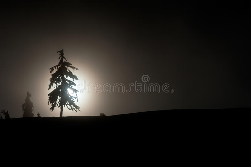 Silhouette of a pine tree. Against the sun on a foggy day stock photography