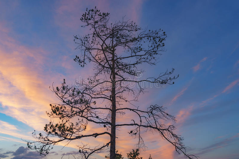 Silhouette of pine tree against colorful sunset sky. With bright clouds royalty free stock photography