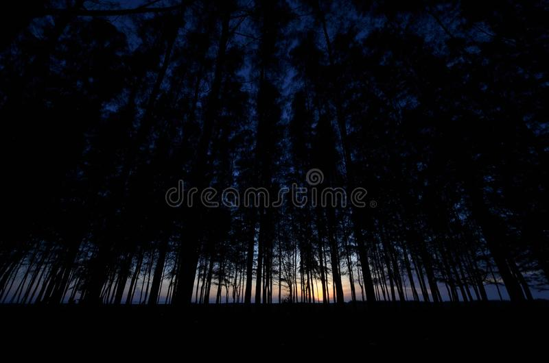Silhouette of pine tree during blue hour. Silhouette of pine tree during blue hour, taken at kelantan, malaysia royalty free stock images