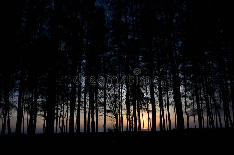 Silhouette of pine tree during blue hour. Silhouette of pine tree during blue hour, taken at kelantan, malaysia royalty free stock photography