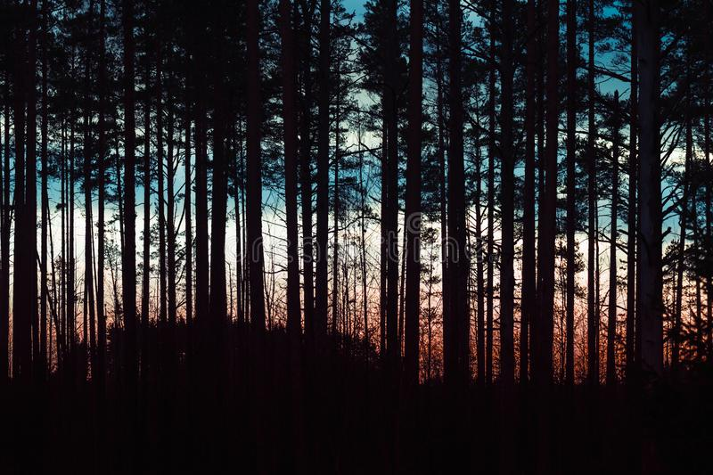 Silhouette of pine tree forest stock photo