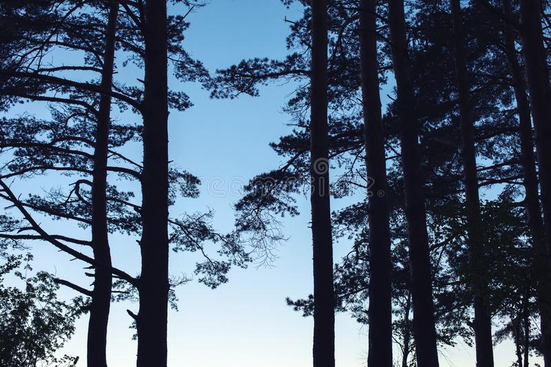 Silhouette of pine tree forest stock images