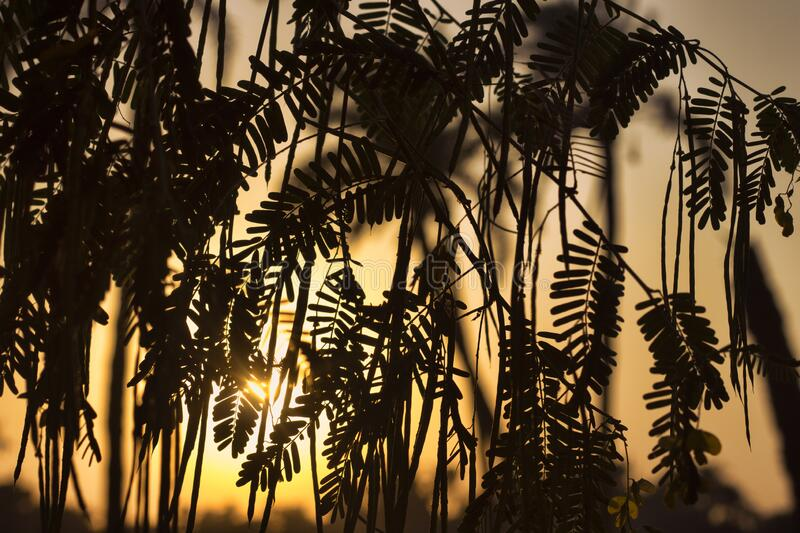 Silhouette of plant at sunset in sunlight. Skyline of fern plant with orange sky during sunset as background stock image