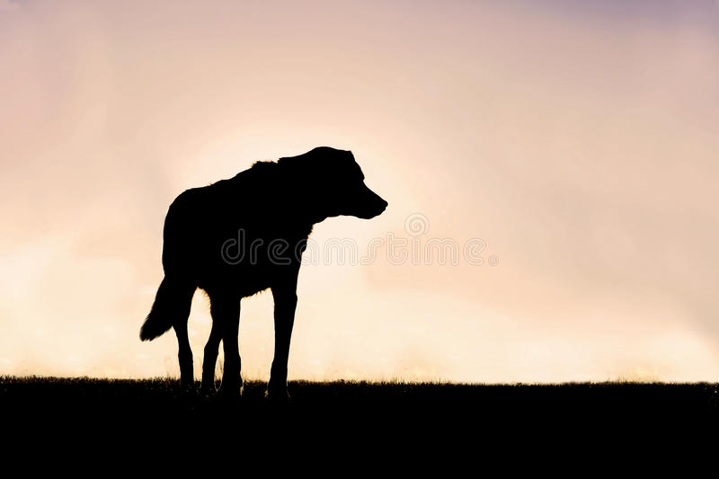 Silhouette of Poised German Shepherd Mix Dog Standing Guard at S royalty free stock images