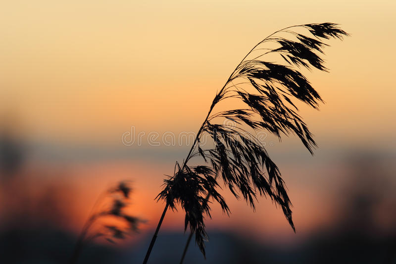 Silhouette of reeds at sunset royalty free stock photography