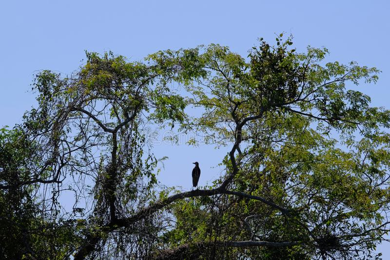 Silhouette of Rufescent Tiger Heron, Tigrisoma Lineatum, in the trees above Cuiaba river, Porto Jofre, Pantanal, Brazil stock photos