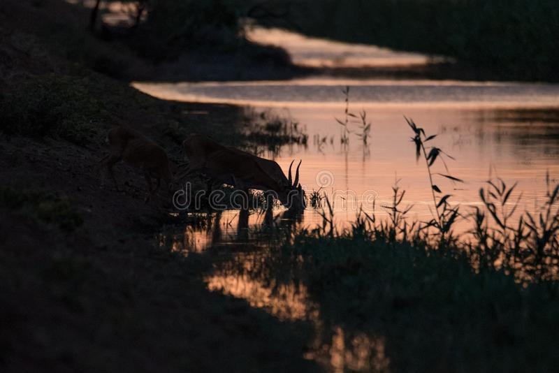 Silhouette of a saiga at sunset. Saiga tatarica is listed in the Red Book. Chyornye Zemli Black Lands Nature Reserve, Kalmykia region, Russia stock image