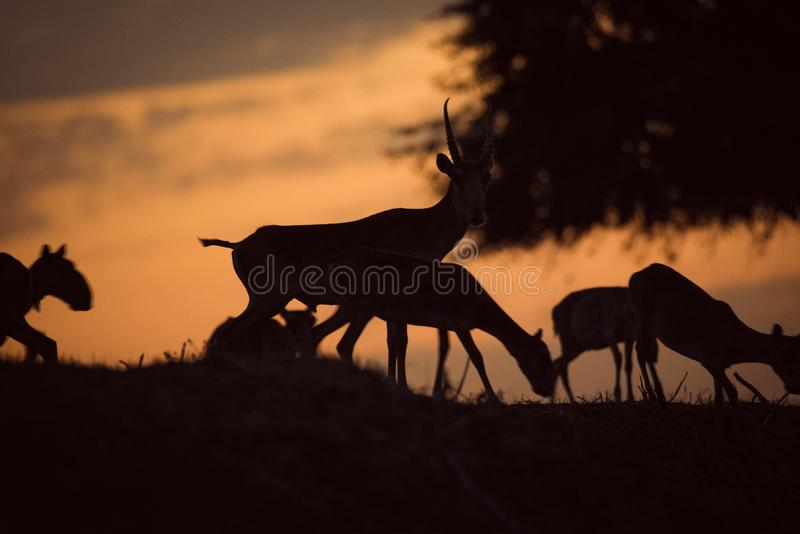 Silhouette of a saiga at sunset. Saiga tatarica is listed in the Red Book. Chyornye Zemli Black Lands Nature Reserve, Kalmykia region, Russia royalty free stock image
