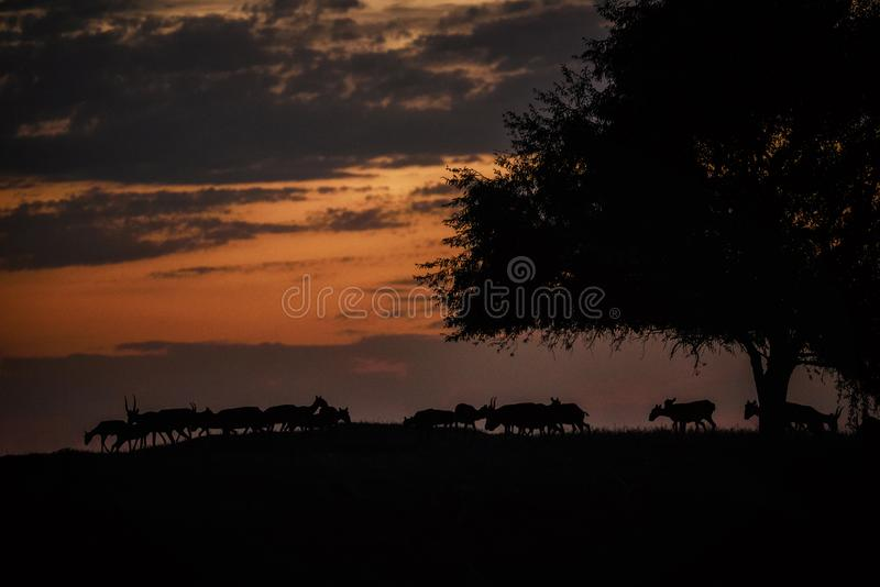 Silhouette of a saiga at sunset. Saiga tatarica is listed in the Red Book. Chyornye Zemli Black Lands Nature Reserve, Kalmykia region, Russia stock photos