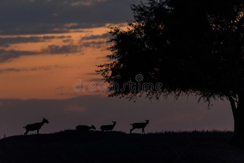 Silhouette of a saiga at sunset. Saiga tatarica is listed in the Red Book. Chyornye Zemli Black Lands Nature Reserve, Kalmykia region, Russia stock images