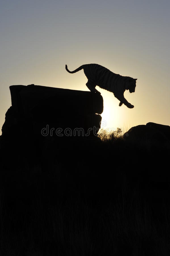Silhouette shot of a tiger stock images